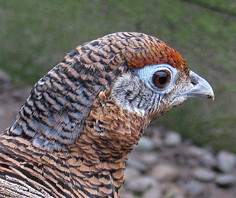 Lady Amherst Pheasant hen