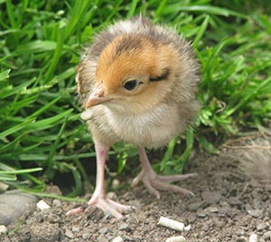 Reeves Pheasant chick